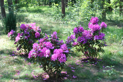 All Rhododendrons by Height