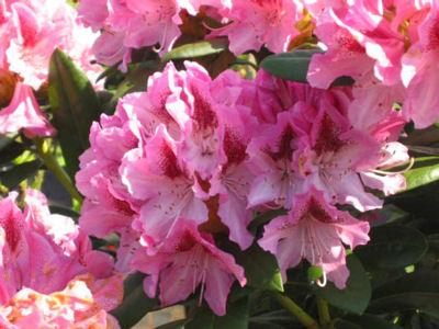 Cosmopolitan bloom 2
