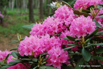 Haaga Plant