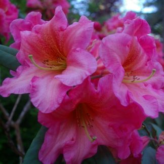 All Rhododendrons by Bloom Season