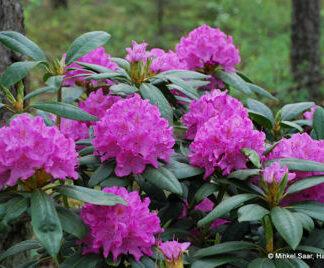 English Roseum Plant