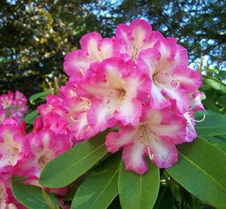 Award Wining Rhododendrons